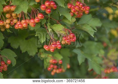 Viburnum Opulus Red Berries And Leaves Outdoor In Autumn Garden