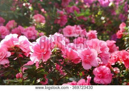 Pink Azalea Flowering Bush In The Spring