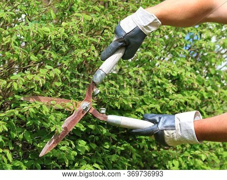 Hand With Gloves Cuts The Hedge With Old Rusty Garden Shears, Trimming A Hedge With Garden Scissors