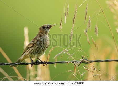 A female finch sitting on barbed wire fence and eating the seeds of wild prairie grass poster