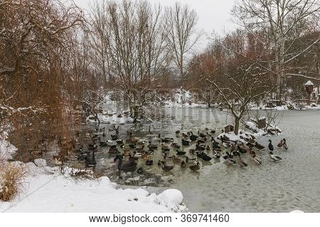 Beautiful Ducks On A Frozen Pond
