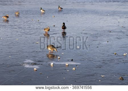 Ducks On A Frozen Dam