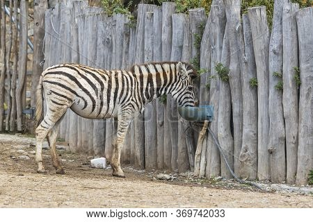 Zebra - Hippotigris Stands By A Wooden Fence