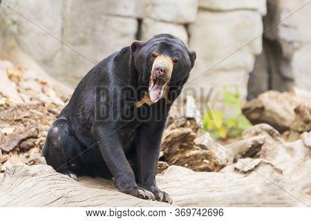 Helarctos Malayanus Bear - The Malaysian Bear Has An Open Mouth And Teeth And Tongue Are Visible.