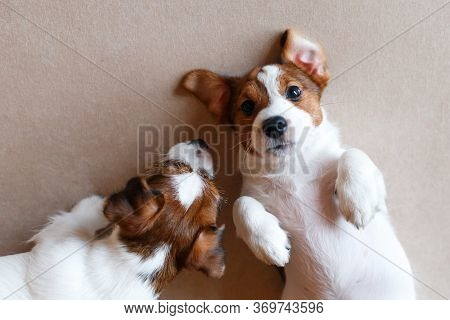 Two Cute Puppies Jack Russell Terrier On A Beige Background. View From Above. A Puppy With A Black N
