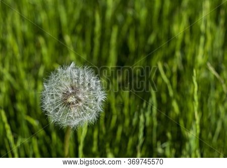 Dandelion On A Green Field. Close Up