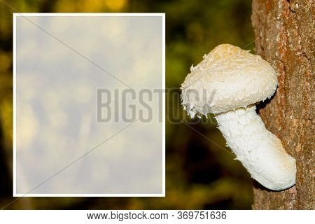 Beautiful White Young Inedible Fungus (pholiota Populnea) On The Tree Trunk Closeup. Space For Text.