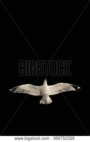 Confident Bird Leader. Clear Direction Of Travel. Seagull On A Black Background. Spread Wings. Bird