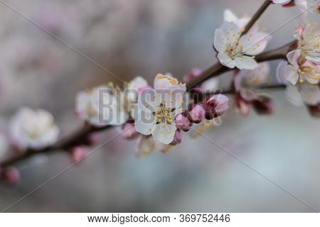 Balmy Apricot Tree Flowers With Soft Focus. Spring White-pink Flowers On An Apricot Tree Branch Clos