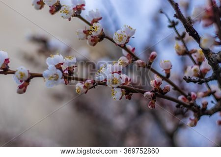 Apricot Tree Fairy Flowers. Spring Pink Flowers On Apricot Tree Branch Close Up