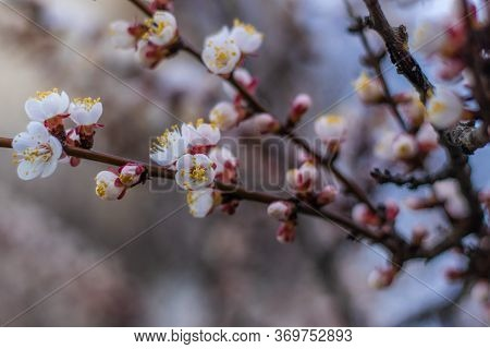 Apricot Tree Dreamlike Flowers. Spring Pink-white Flowers On Apricot Tree Branch