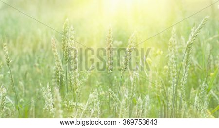 Wheat Field With Ripe Wheat Close-up. Horizontal Tinted Photo Of Wheat Ears. Light Summer Background