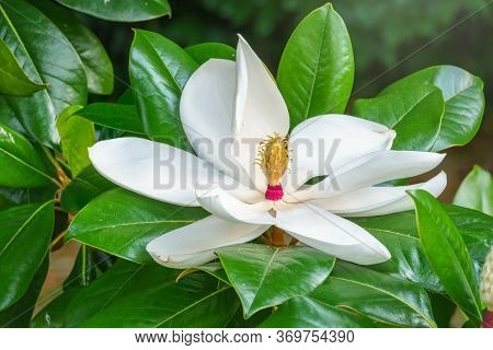 White Big Magnolia Flower In The Green Leaves Background. Magnolia Soulangeana, The Saucer Magnolia