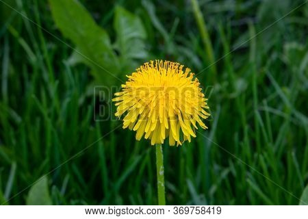 Yellow Dandelion. Bright Fluffy Dandelion Flower On The Background Of Green Spring Meadows.