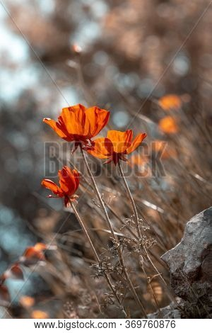 Grunge style photo of a poppy flowers growing on the field, uncultivated gentle red flowers, wild nature of a countryside, beautiful floral photo