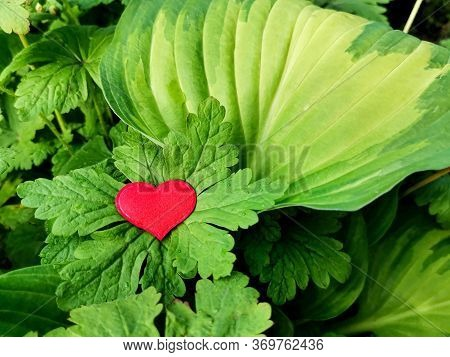 Red Heart On Large Green Leaves Of Plants With Dew Or Rain Drops. Beautiful Natural Background For S