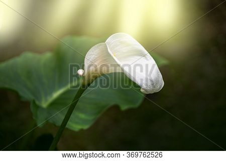 Calla Lily,beautiful White Calla Lilies Blooming In The Garden, Arum Lily, Gold Calla