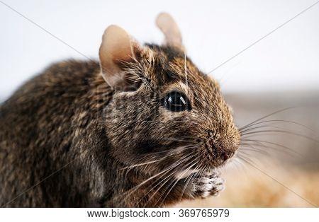 Cute squirrel degu nibbling food