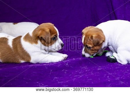 Two Little Jack Jack Russell Terrier Playing On A Purple Glamorous Background