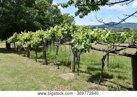 Vineyard On Mountain Strbac In East Serbia
