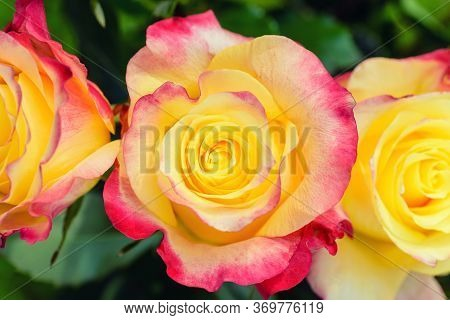 Flower Beauty Red Yellow Colours. Spring Red And Yellow Rose Flower In The Garden. Macro Red Yellow