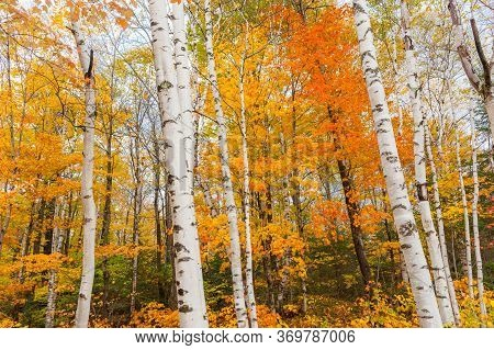 Bright White Trunks And Brilliant Fall Colors Of New England Forest.