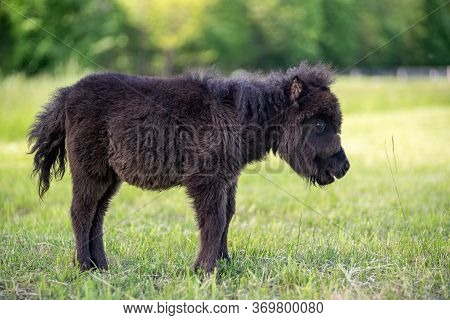 Black Baby Miniature Horse On Sunny Summer Day In The Meadow