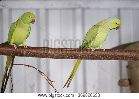 Green Parakeet, Red Beak, Sits On A Branch. Selective Focus