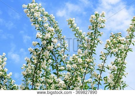 White Flowers And Green Leaves Of Philadelphus Coronarius Ornamental Perennial Plant, Known As Sweet