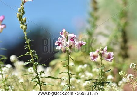 Beautiful White Flowers Of Nerium Oleander Closeup On The Seascape Background. Landscape With Bloomi