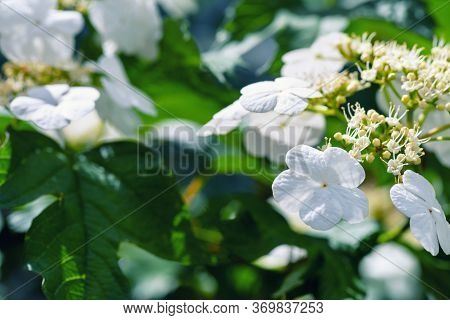 Viburnum Close-up. Viburnum Flower Bloomed In The Garden. Blooming Viburnum Spring Sunny Day.