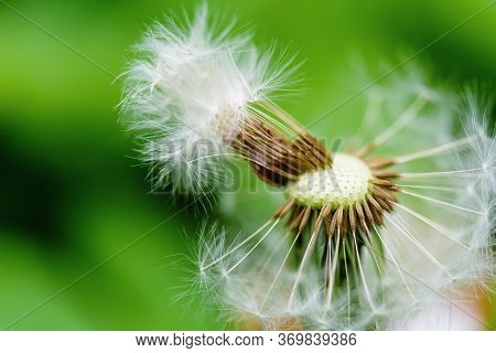 Closeup Of Dandelion Flower. Dandelion Seed. Spring Flowering Dandelion Macro.