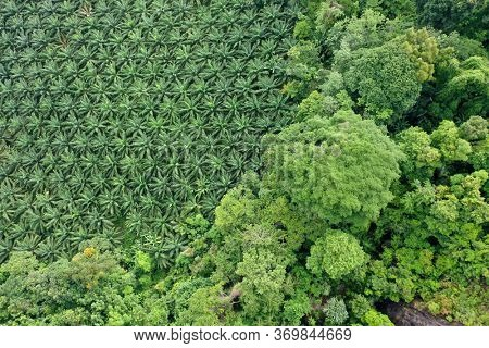 Palm oil plantation at rainforest edge
