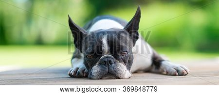 Cute Boston Terrier Dog Lying On A Brown Wooden Terrace - Shallow Depth Of Field