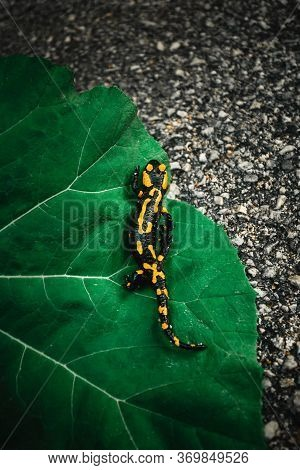 Dark And Moody Photo Of Fire Salamander With Beautiful Yellow-orange Spots On The Green Leaf. Folk G