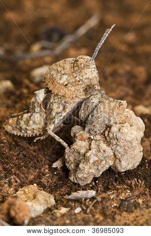 Grasshopper (ocnerodes Fallaciosus)