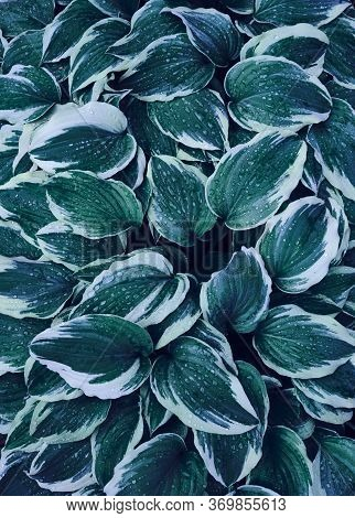 Hosta Large Green Leaves With Raindrops In Dark Tone Background. Spring Background With Green Hosta