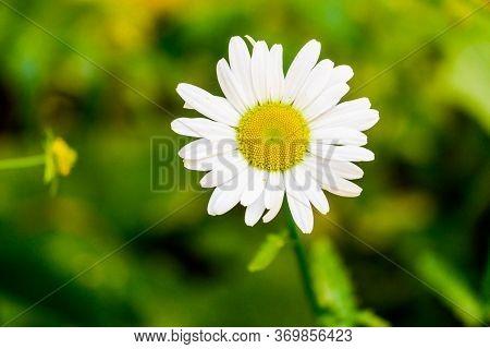 Flowering Of Daisies. Oxeye Daisy, Leucanthemum Vulgare, Daisies Dog Daisy Moon Daisy
