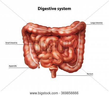 Anatomy Of The Human Intestine. Vector Illustration.