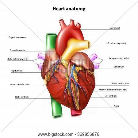 Heart Anatom On White Backgroundy . Vector Illustration.