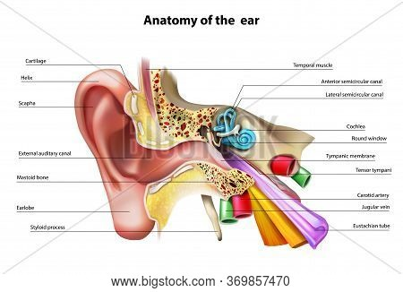Anatomy Of The Ear Isolated Vector Illustration.