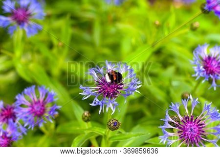 Bumblebee On Cornflower In Meadow. Non Urban Scene.