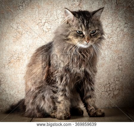 Portrait Of An Old Hairy Cat In The Studio.