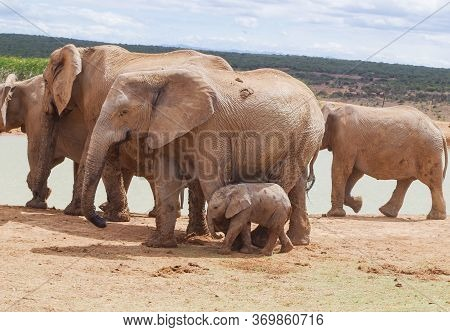 Elephants In The Nature Reserve In National Park South Africa
