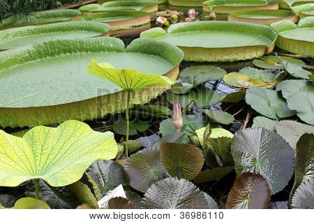 Victoria Regia, the world's largest leaves, of Amazonian water lilies. Botanical Garden, Braunschweig poster
