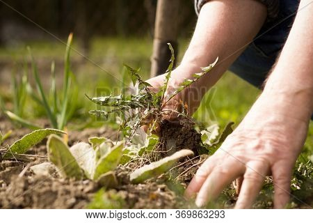An Old Hand Of Active Senior Pulling Out Weed Of His Huge Botanic Garden, Clearing, Doing Properly,