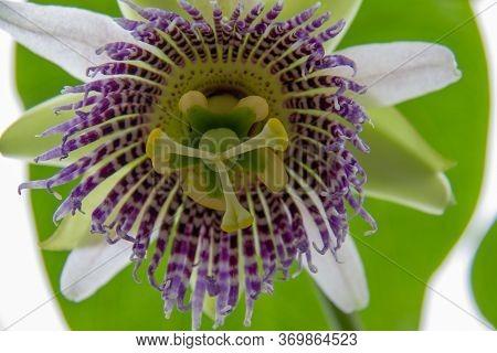 Passiflora Flower, Crop, White And Purple Colors, Granadilla