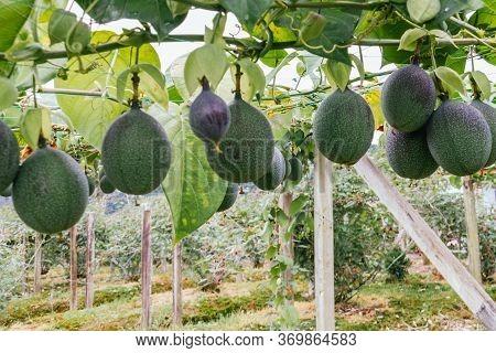 Granadilla, Passiflora Crops, Fruits Hanging From The Trellis, Still Green Fruit