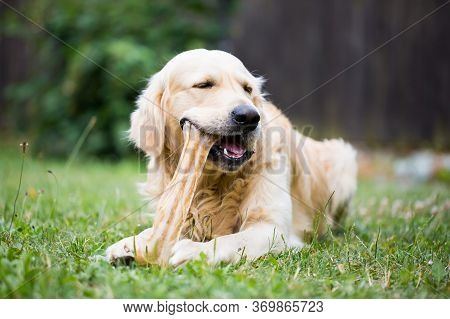 Cute Golden Retriever Playing, Eating With Bone Consists Of Some Pork Skin On The Huge Garden, Looki