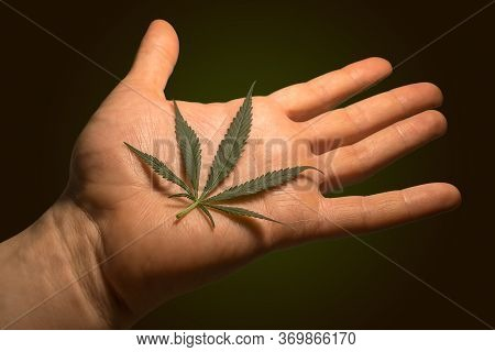 Leaf Of Cannabis Marijuana Hemp In Hand Arm On Palm On Isolated Isolated Background For Smoking A Dr